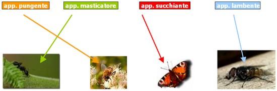 apparato boccale degli insetti