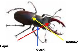 corpo degli insetti